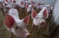 Santa Bárbara do Leste: Rebanho de suínos cresce 370,9% em 11 anos